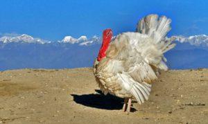 turkey in sailung